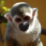 Image of Spider Monkey